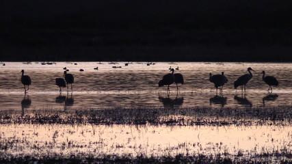 Sandhill Cranes Resting at Sunrise