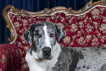 close up great dane dog