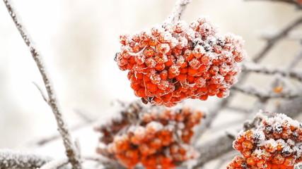 Rowan berry tree on the snow in winter