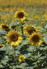 Italy, Tuscany, countryside, sunflowers field