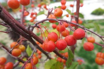 "Crabapple ( Malus x zumi ""Professor Sprenger"") with ripe apples"
