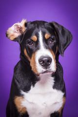 Sennenhund mit umgeklappten Ohr vor Lila