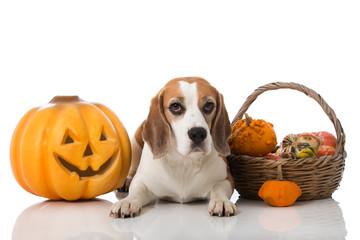 Beagle mit Kürbissen