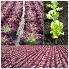 Lettuces in the field