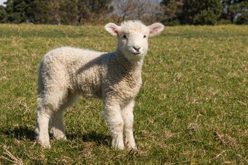 staring little lamb