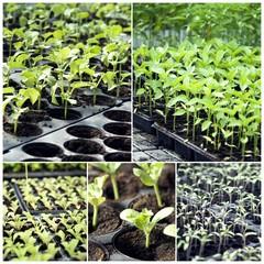 Vegetable seedlings in tray