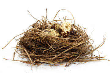 Quail nest with eggs