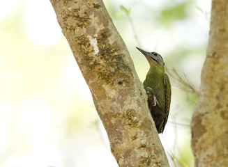 Grey-headed woodpecker perched on tree trunk