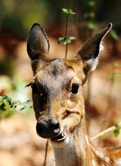 Cheetal deer eating dry leaves