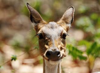 Closeup of Cheetal deer eating leaves