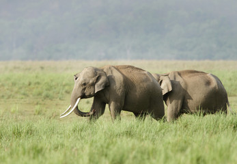Two elephants in the grassland