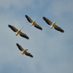 pelicans flying against the blue sky (pelecanus onocrotalus)