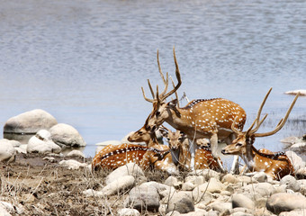 A herd of Spotted dear on the bank of river Ramganga