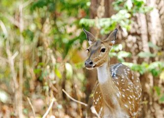 Cheetal deer in the bushes of Jim Corbett forest