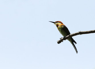 A beautiful Chestnut-headed Bee-eater perched on a branch
