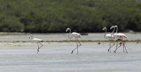 Beautiful great flamingo moving during low tide