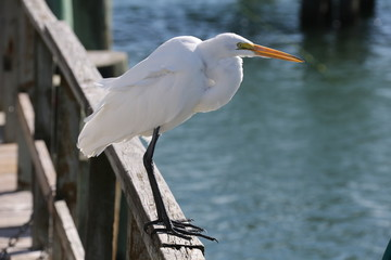 White Florida Bird