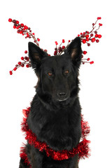 Crossbreed German Shepherd with Christmas decorations