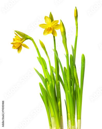 Fotobehang Narcis narcissus