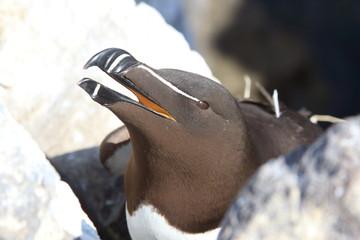 uria guillemot uccello marino isole farne scozia mare artico