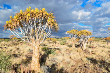 Quiver tree forest, kokerbooms in Namibia, Africa