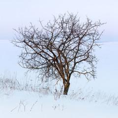 Lone tree in a field in winter
