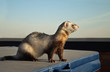 Cute ferret sitting on a suitcase