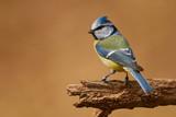 Fototapeta Eurasian blue tit