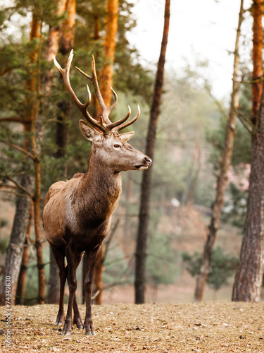 Poster Hert Red deer stag in autumn fall forest