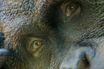 Orangutan Face Through Glass Window