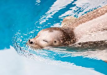 Aquarium Pinnipedia Seal Swimming through Water