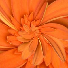 Gerbera flower infinity spiral