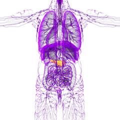 3d render medical illustration of the pancreas