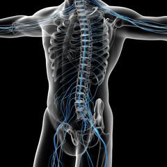 3d rendered illustration of the male nervous system