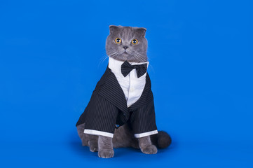 cat in a suit isolated on a blue background