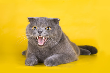 cat isolated on a yellow background