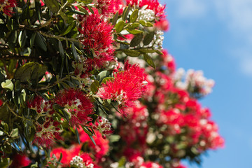 Pohutukawa tree flowers against blue sky