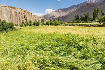 Wheatfield in the arid Ladakh region in India