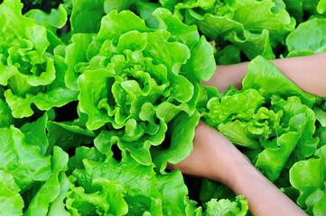 green lettuce plants grow in vegetable garden