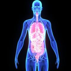 Human Organs