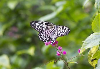 Бабочка Идея Левконоя