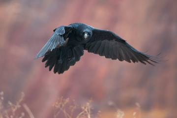 Raven flying with red rocks in background