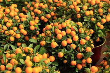 mandarin orange fruits grow on tree