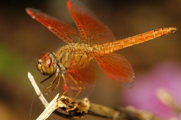 close up orange dragonfly on tree in garden thailand