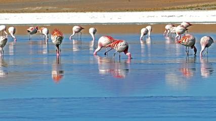 Blue laguna flamingo Bolivia