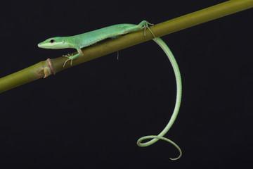 Emerald grass lizard / Takydromus smargadinus
