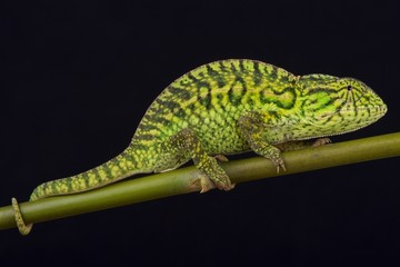 Jeweled chameleon / Furcifer lateralis