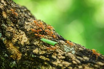 Red Ants predator