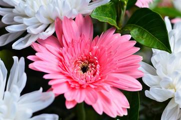 Daisies flower
