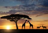 Fototapety Giraffes with Kudu at sunset